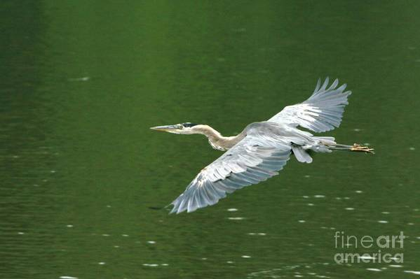Landscape Nature Wildlife Bird Crane Heron Green Flight Ohio Water Art Print featuring the photograph Young Great Blue Heron Taking Flight by Dawn Downour