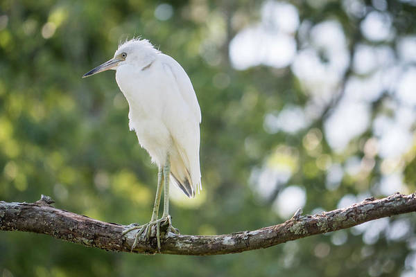 Little Blue Heron Art Print featuring the photograph Young Little Blue Heron by David Ramage