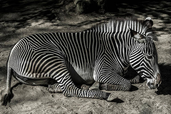Zebra Art Print featuring the photograph Zebra 2 by Martin Alonso