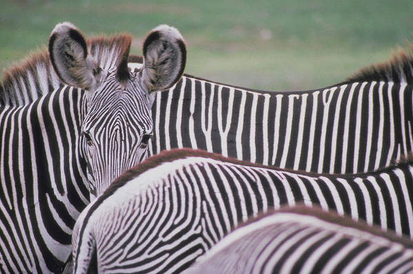 Zebras Art Print featuring the photograph Zebra Stripes In Kenya by Carl Purcell
