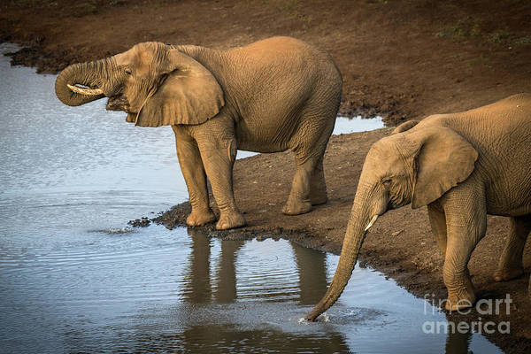African Elephant Art Print featuring the photograph Elephants Drinking From A Water Hole. by Jamie Pham