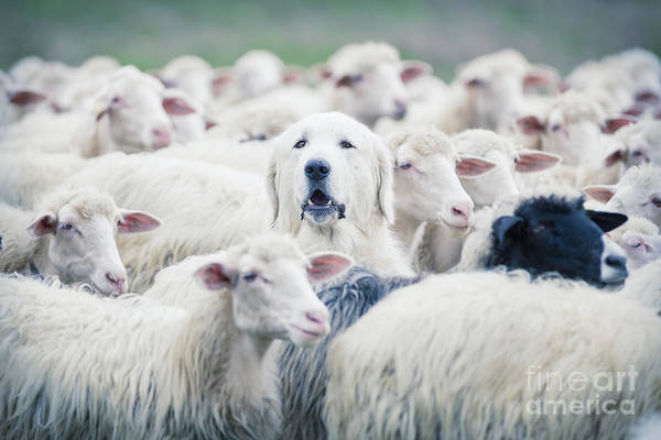 Crowd Art Print featuring the photograph A Shepherd Dog Popping His Head Up From by Anadman Bvba
