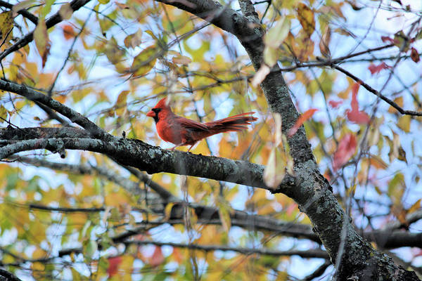Male Cardinal Art Print featuring the photograph Autumn Cardinal by Karen Majkrzak