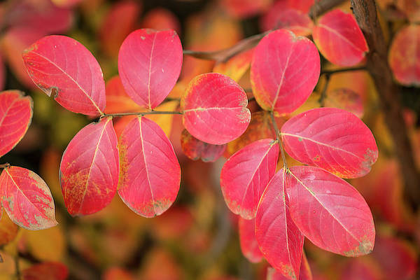 Leaves Art Print featuring the photograph Autumnal Hues by Vanessa Thomas