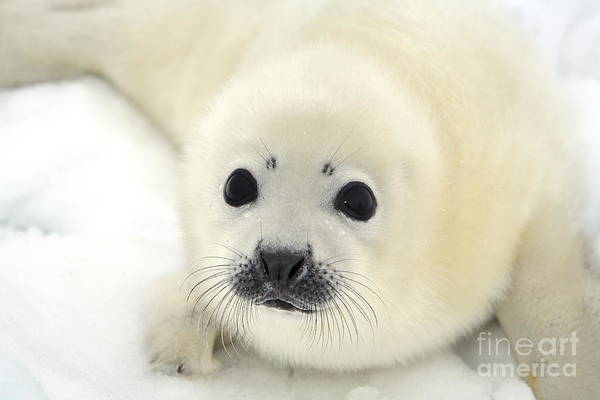 Fur Art Print featuring the photograph Baby Harp Seal Pup On Ice Of The White by Vladimir Melnik