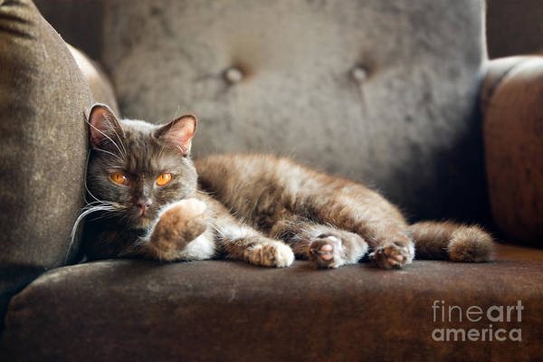 Fur Art Print featuring the photograph British Cat At Home by Nina Anna