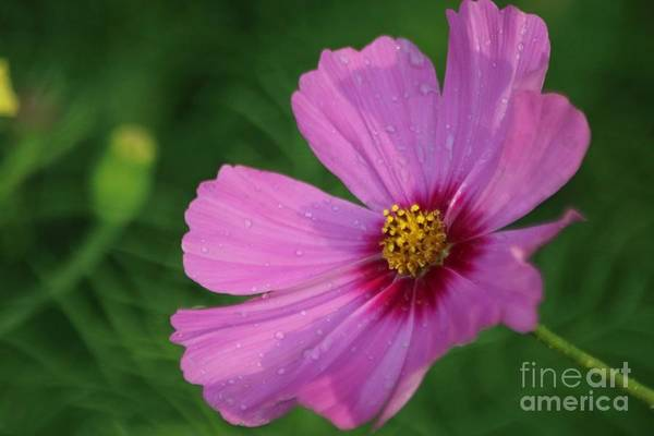 Cosmos Art Print featuring the photograph Cosmos In The Garden by Mrsroadrunner Photography
