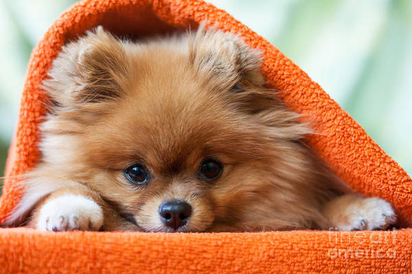 Gift Art Print featuring the photograph Cute And Funny Puppy Pomeranian Smiling by Barinovalena
