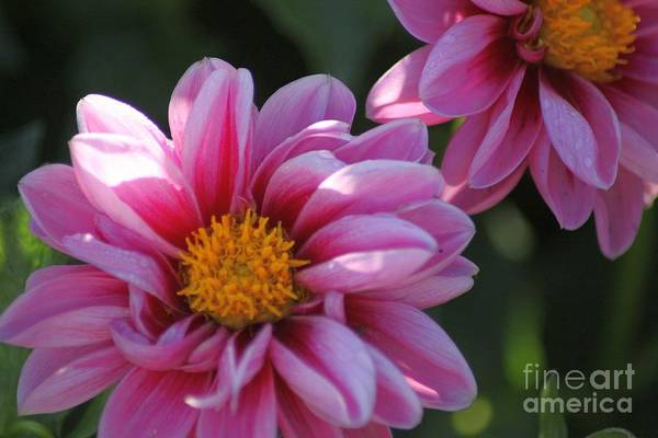 Dahlia Flower Art Print featuring the photograph Dahlia Flower 076 by Mrsroadrunner Photography