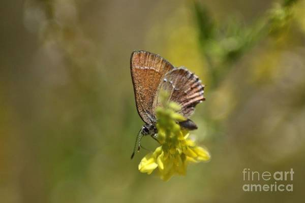 Butterfly Art Print featuring the photograph Female Blue Butterfly In Yellow 058 by Mrsroadrunner Photography