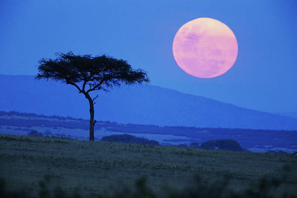 Scenics Art Print featuring the photograph Full Moon Rising Above Tree, Savanna by Paul Souders