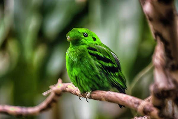 Animal Themes Art Print featuring the photograph Green Broadbill by By Ken Ilio