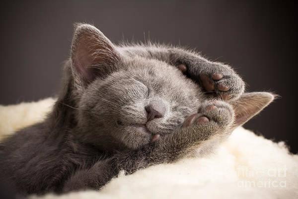 Pets Art Print featuring the photograph Kitten Sleeping, Russian Blue Cat by Gita Kulinitch Studio