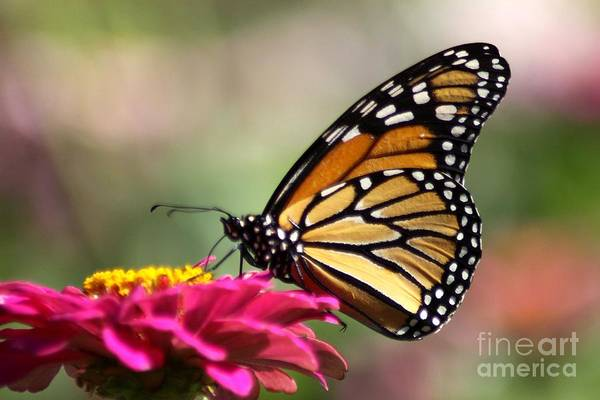 Monarch Butterfly Art Print featuring the photograph Monarch Butterfly 290 by Mrsroadrunner Photography