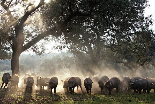 Dawn Art Print featuring the photograph Pure Iberian Pigs Feed On Grasslands At by Diego Lezama