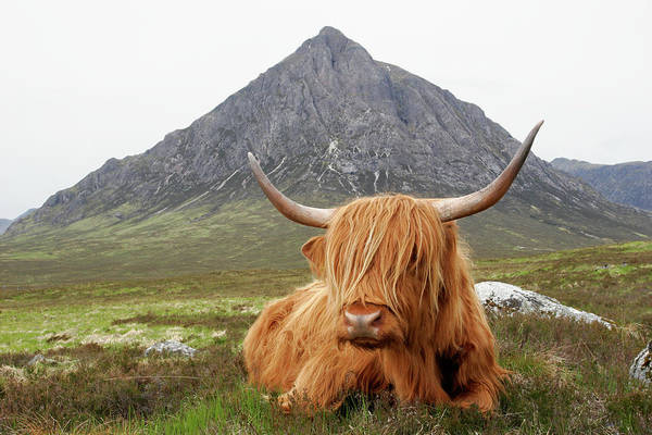 Horned Art Print featuring the photograph Quintessential Scotland by Thedman