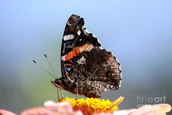 Red Admiral Butterfly Art Print featuring the photograph Red Admiral Butterfly 816 by Mrsroadrunner Photography