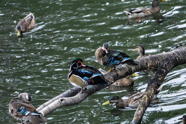 Duck Art Print featuring the photograph Resting Ducks by Rob Olivo