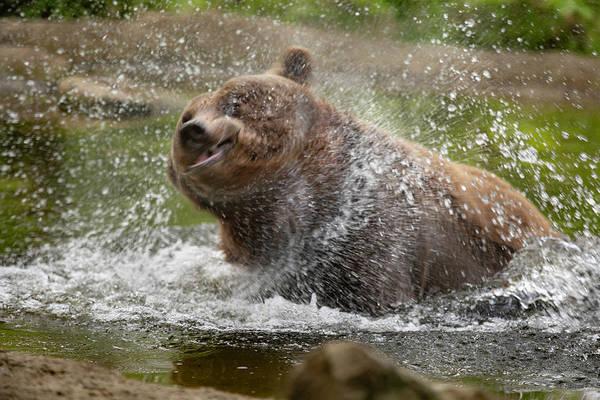 Brown Bear Art Print featuring the photograph Splish Splash I'm Taking A Bath by Nigel Jones