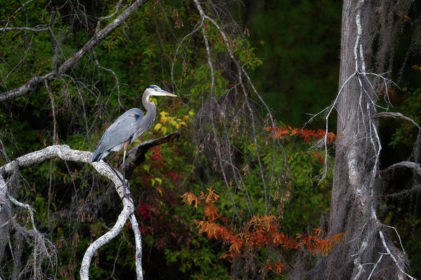 Animal Art Print featuring the photograph The Great Blue Heron by Lana Trussell