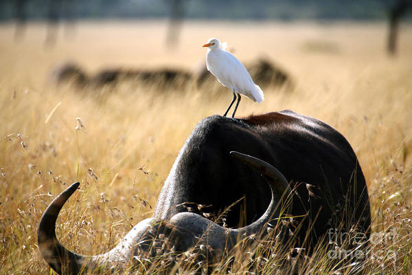 Egret Art Print featuring the photograph White Cattle Egret Hitching A Ride On by Paul Banton