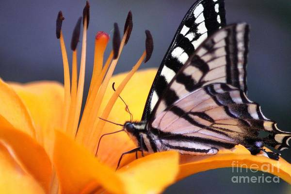 Swallowtail Butterfly Art Print featuring the photograph Yellow Swallowtail Butterfly On Lily Flower 020 by Mrsroadrunner Photography