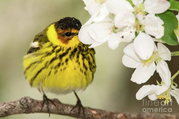 Warbler Art Print featuring the photograph I See You by Gaby Swanson