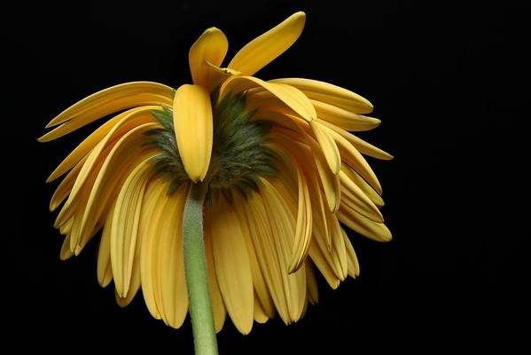 Flower Art Print featuring the photograph The Flop by Dan Holm