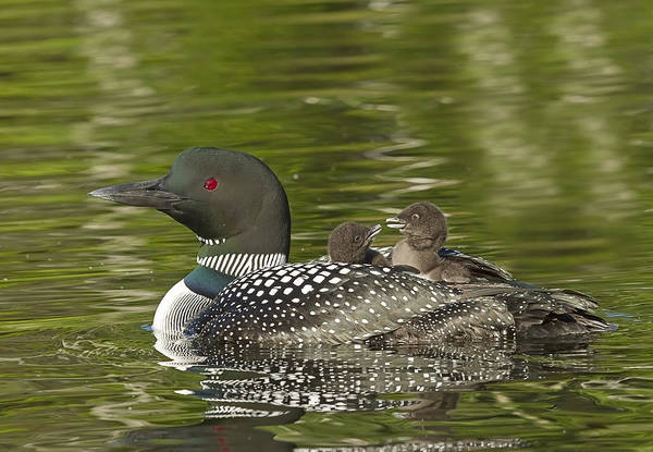 Common Loon Art Print featuring the photograph Loon Parent With Two Chicks by John Vose