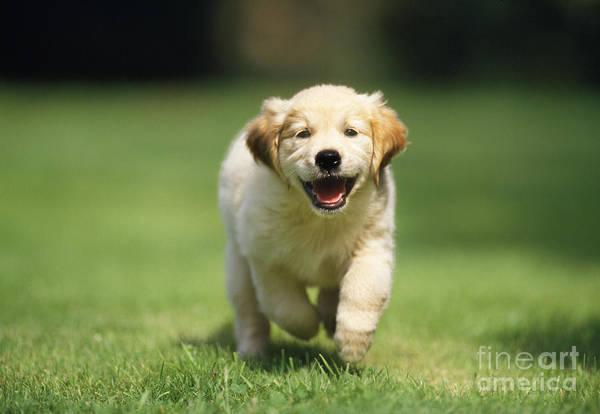 Golden Retriever Print featuring the photograph Golden Retriever Puppy by John Daniels