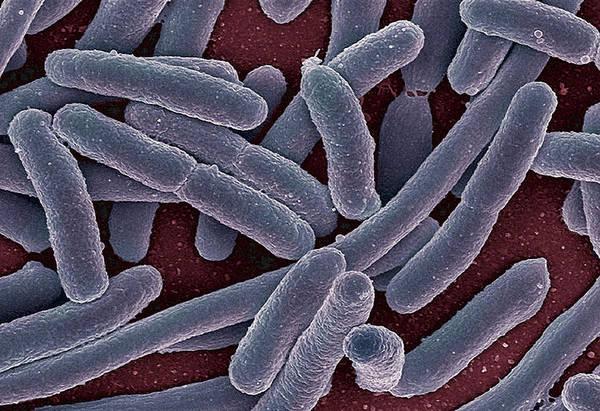 Escherichia Coli Art Print featuring the photograph E Coli Bacteria Sem by Ami Images