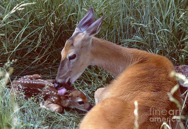 Nature Art Print featuring the photograph White-tailed Deer by Jack R Brock