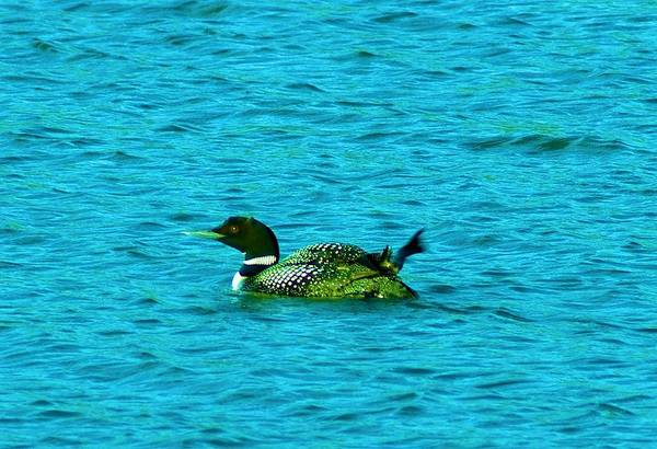 Loons Art Print featuring the photograph A Loonie Loon by Jeff Swan