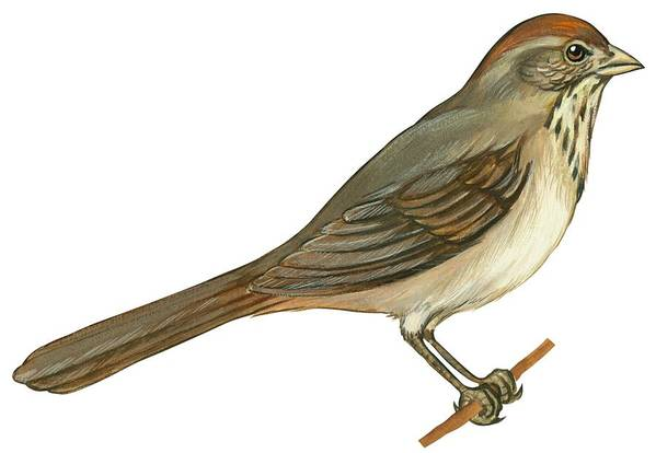 No People; Horizontal; Side View; Full Length; White Background; One Animal; Wildlife; Close Up; Illustration And Painting; Zoology; Bird; Branch; Wing; Feather; Perching; Beak; Tail; Brown; Brown Towhee; Pipilo Fuscus Art Print featuring the drawing Brown Towhee by Anonymous