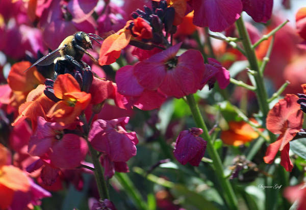 Bumble Bee Art Print featuring the photograph Bumble Bee Among The Wallflowers IIi by Suzanne Gaff