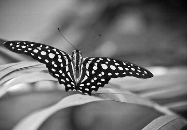 Butterfly Black & White Art Print featuring the photograph Butterfly Resting by Ron White