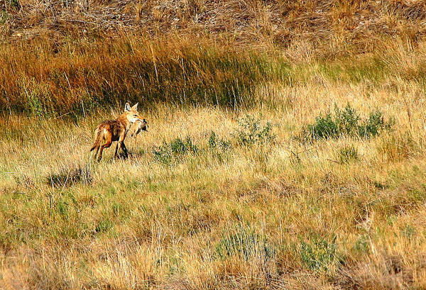 Coyote Art Print featuring the photograph Coyote Catch by Rebecca Adams
