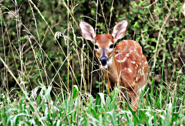 A Whitetail Fawn Hiding In The Tall Grass. Art Print featuring the photograph Fawn In The Grass by Marty Koch