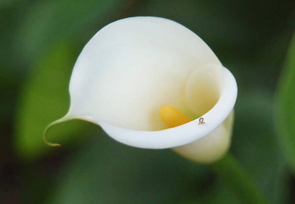 White Calla Lily Art Print featuring the photograph Inching Along by Suzanne Gaff