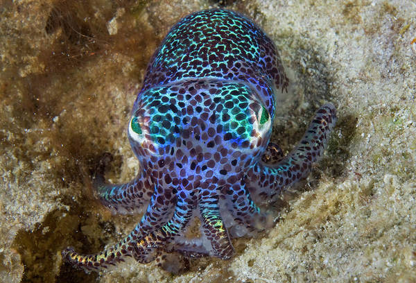 Aljui Bay Art Print featuring the photograph Nocturnal Bobtail Squid (sepiolida by Jaynes Gallery