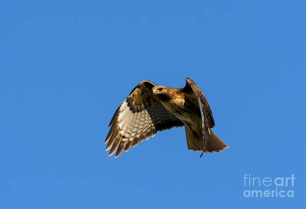 Hawk Art Print featuring the photograph Red-tail Hover by Mike Dawson