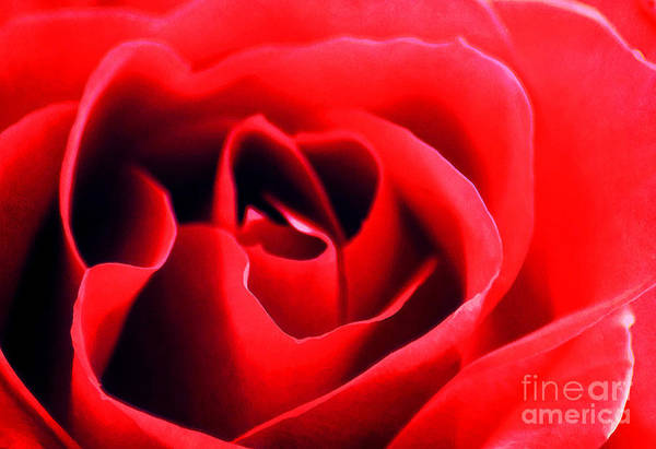 Affection Art Print featuring the photograph Rose Red by Darren Fisher