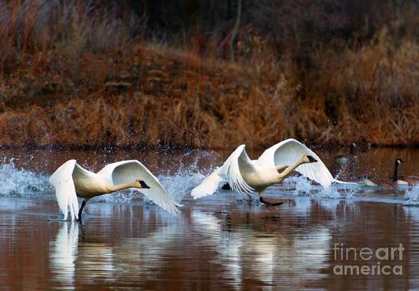 Swans Art Print featuring the photograph Swan Lake by Mike Dawson