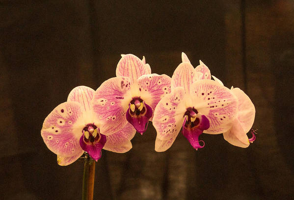 Orchid Art Print featuring the photograph Triple Orchid Arrangement 1 by Douglas Barnett