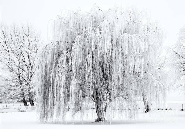 Willow Art Print featuring the photograph Winter Willow by Mike Dawson