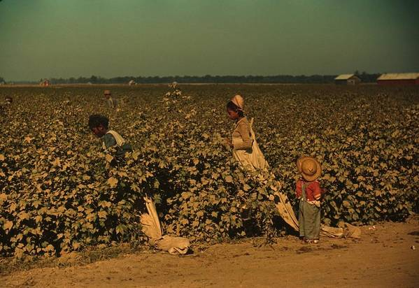 History Art Print featuring the photograph African Americans Picking Cotton by Everett