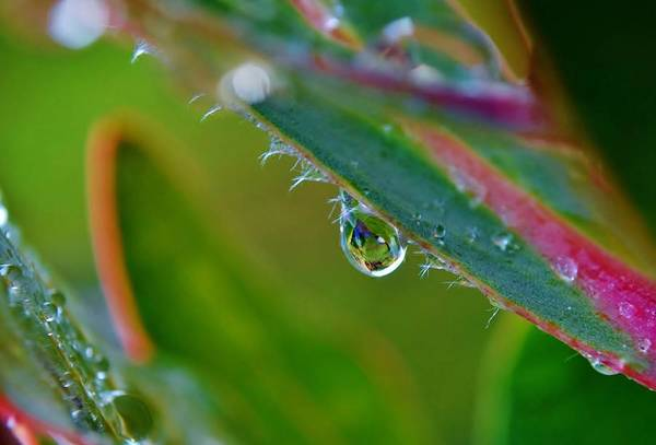 Macro; Image; Rain; Drop; Protea; Leaf; Droplets; Plant; Floral; Flower; Garden; Water; Wet; Reflection; Background; Green; Pink; Decorative; Art Print featuring the photograph Rain Drop by Werner Lehmann