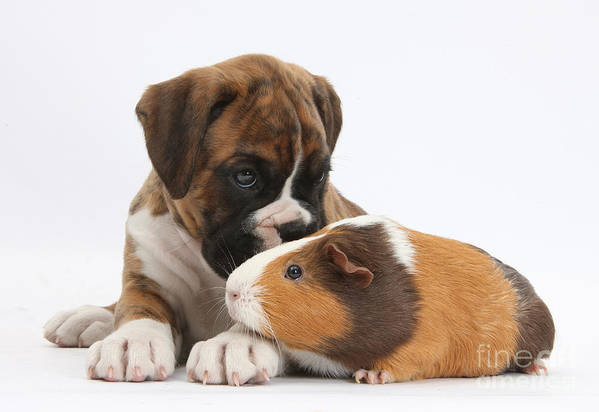 Boxer Art Print featuring the photograph Boxer Puppy And Guinea Pig by Mark Taylor