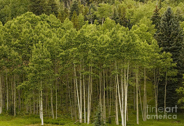 Green Art Print featuring the photograph Aspen Grove by Peggy Starks