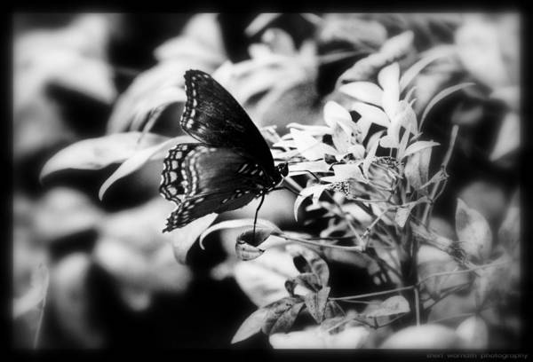 Black And White Art Print featuring the photograph B N W Butterfly by Sheri Bartoszek